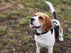 Фотография в Собаки и щенки Вязка собак Кобель Нефрит: возраст 2, 5 года. Будет первая в Краснодаре 0