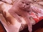 Увидеть фото Вязка кошек Вязка с шотландским котом 38261137 в Краснодаре