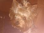 Фотография в Собаки и щенки Вязка собак Симпатяга йорк стандарт 4 года ищет подружку в Краснодаре 0