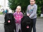 Фотография в Собаки и щенки Вязка собак ищем невесту, хороший кабель, окд, родос в Краснодаре 0