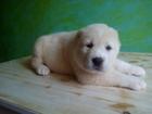 Фотки и картинки Среднеазиатская овчарка смотреть в Новороссийске