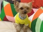 Скачать foto Вязка собак йоркширский терьер 38877600 в Краснодаре