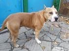 Просмотреть foto Вязка собак американский стаффордширский терьер, кобель 42005849 в Краснодаре