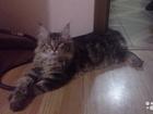 Скачать foto Вязка кошек Молодой очаровательный кот приглашает в гости 47313384 в Краснодаре