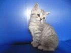 Прямоухий шотландский котик вискасного окраса