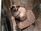 Увидеть изображение Вязка кошек ищу кошку для молодого , красивого , кота 52343556 в Краснодаре