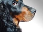 Скачать бесплатно foto Вязка собак шотландкий сеттер \гордон\ ищет девочку для вязки 68021391 в Краснодаре