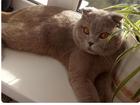 Скачать бесплатно foto Вязка кошек Вязка с шикарным шотландцем в Краснодаре 68135434 в Краснодаре