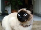 Новое foto Отдам даром - приму в дар Приму в дар приму в дар сиамскую кошечку в Краснодаре, 68975794 в Краснодаре