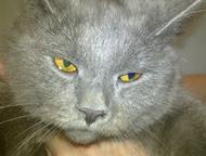 Красивый котенок ждет своего доброго и заботливого хозяина Чудный британец. Коте