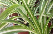 Хлорофитум растения в горшках