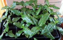 Растения Нони