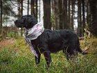 Фотография в Потерянные и Найденные Потерянные Найдена собака метис дратхаара, в Красногорске, в Красногорске 0