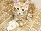 Фотография в Кошки и котята Продажа кошек и котят Продам котенка мейн-куна с родословной, огненно в Красноярске 20000