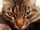 Изображение в Кошки и котята Вязка Красивый котик 2-х лет ищет подружку для в Красноярске 0