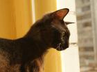 Изображение в Кошки и котята Вязка на Перенсона приглашает кот кошечку. коту в Красноярске 1000