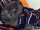 Изображение в Кошки и котята Вязка Чистокровный, вислоухий шотландец, голубого в Красноярске 1500