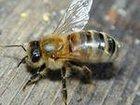 Изображение в Домашние животные Другие животные Продам четырёхрамочные пчелопакеты. Три рамки в Омске 0
