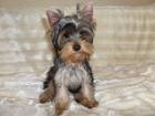 Изображение в Собаки и щенки Продажа собак, щенков Продается очаровательный щенок йоркширского в Красноярске 25000