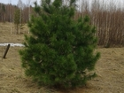Смотреть изображение Ландшафтный дизайн Саженцы кедра, ели, сосны 34459037 в Красноярске