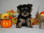 Фотография в Собаки и щенки Продажа собак, щенков Продам очаровательных щенков йоркширского в Красноярске 17000