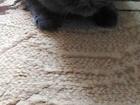 Фотография в Кошки и котята Вязка СРОЧНО! ! ! ! ! ! в Красноярске 1