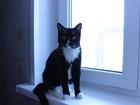 Фото в Кошки и котята Вязка Кот, первый раз ищет даму, здоровый, привитый, в Красноярске 0