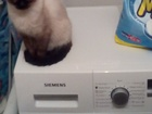 Фото в Отдам даром - Приму в дар Отдам даром Отдам в хорошие руки сиамскую кошку, возраст в Красноярске 0