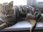Фото в Кошки и котята Вязка кот красивого окраса черный по золоту -мрамор. в Красноярске 0