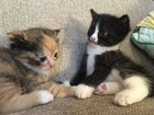 Фото в   Отдам котят. Две девочки). Кушают с удовольствием в Красноярске 10