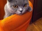 Фото в Кошки и котята Вязка Шотландская вислоухая кошечка ищет для вязки в Красноярске 0