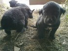 Увидеть изображение Отдам даром - приму в дар Отдам щенков добрые руки 37688573 в Красноярске