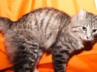 Смотреть foto Отдам даром - приму в дар Отдам кота в хорошии руки 38357232 в Красноярске