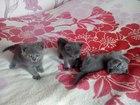 Фотография в Кошки и котята Продажа кошек и котят Шотландские прямоухие котятки готовы переехать в Красноярске 2000