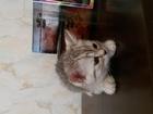 Изображение в  Отдам даром - приму в дар Подарю котенка (мальчик). Порода шотландская. в Красноярске 0