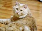 Фото в Кошки и котята Вязка Молодой чемпион познакомиться с симпатичной в Красноярске 3000