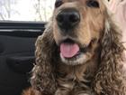 Смотреть изображение Вязка собак Английский спаниель,девочка, 66595347 в Красноярске