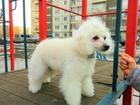 Новое изображение Вязка собак Белый той пудель сука с родословной ищет папу будущих щенков 68131756 в Красноярске