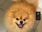 Свежее фотографию Вязка собак мальчик немецкий шпицМальчик 4 года, Окрас Оранж, оценка очень хорошо, бал снизили из за того что не выполнил команды и стрижка не соответствовала породе (слишк 69001780 в Красноярске