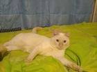 Скачать бесплатно фото Вязка кошек Ищем невесту для нашего котика! 69150493 в Красноярске