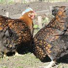 Цыплята Виандот и инкубационное яйцо