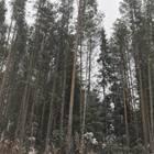 Продам лес на корню в Красноярском крае