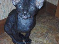 Котятки донского сфинкса Продам двух очаровательных сфиксят девочку и мальчика.