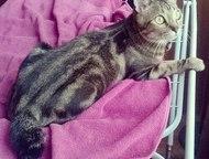 Кошечка Курильского бобтейла ищет Котика Девочка, Бобтейл золотисто-мраморного о