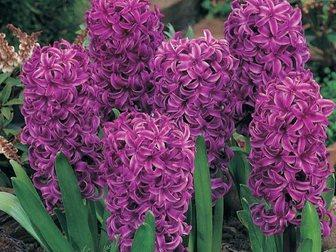 Уникальное фото  Гиацинт цветок от 1 шт, 34393007 в Красноярске