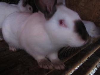 Просмотреть фото  Кролики 36604631 в Красноярске