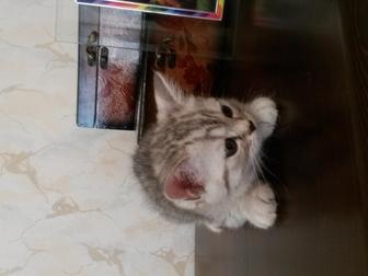 Свежее фотографию Отдам даром - приму в дар Шотландец котик 38716612 в Красноярске