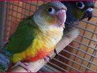 Скачать бесплатно изображение  Прямые поставки в зоомагазины оптом экзотических птиц и попугаев Крыма 33092018 в Кургане