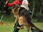 Уникальное фото  Дрессировка собак Видное Домодедово Подольск 34458602 в Видном