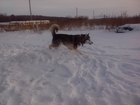 Фотография в Собаки и щенки Вязка собак Предлагаю для вязки кобеля Аляскинского маламута. в Кургане 0